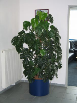 Monstera_del_Bücheler001
